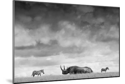 A White Rhino Lies in the Grass As Two Zebras Graze Behind-Robin Moore-Mounted Photographic Print