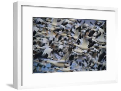 A Huge Flock of Snow Geese in Flight-Raul Touzon-Framed Photographic Print