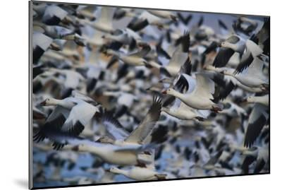 A Huge Flock of Snow Geese in Flight-Raul Touzon-Mounted Photographic Print