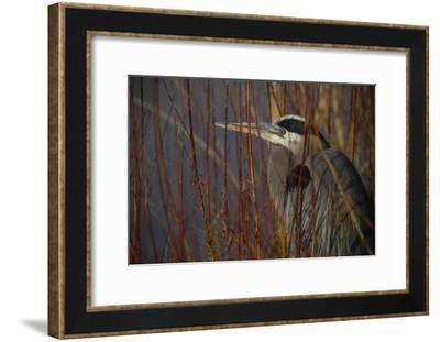 Portrait of a Blue Heron at a Pond-Raul Touzon-Framed Photographic Print