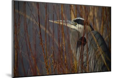 Portrait of a Blue Heron at a Pond-Raul Touzon-Mounted Photographic Print
