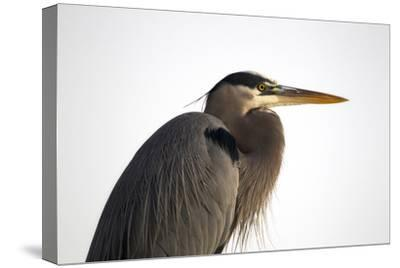 Profile Portrait of An Adult Great Blue Heron, Ardea Herodias-Robbie George-Stretched Canvas Print