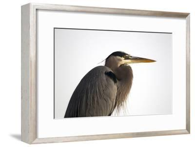 Profile Portrait of An Adult Great Blue Heron, Ardea Herodias-Robbie George-Framed Photographic Print