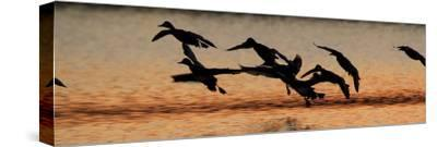 A Flock of Redhead Ducks, Aythya Americana, Landing in a Pond at Sunrise-Robbie George-Stretched Canvas Print