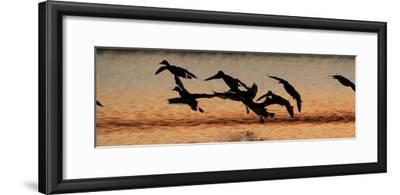 A Flock of Redhead Ducks, Aythya Americana, Landing in a Pond at Sunrise-Robbie George-Framed Photographic Print