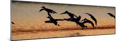 A Flock of Redhead Ducks, Aythya Americana, Landing in a Pond at Sunrise-Robbie George-Mounted Photographic Print