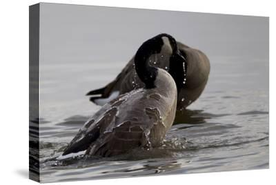 Water Running Off the Back of a Canada Goose After Bathing-Robbie George-Stretched Canvas Print