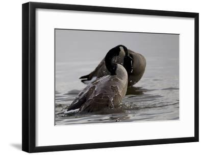 Water Running Off the Back of a Canada Goose After Bathing-Robbie George-Framed Photographic Print