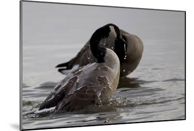 Water Running Off the Back of a Canada Goose After Bathing-Robbie George-Mounted Photographic Print