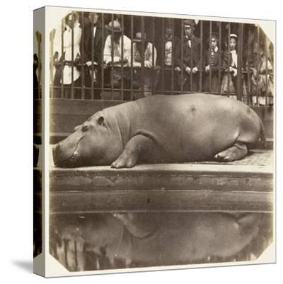 The Hippopotamus at the Zoological Gardens, Regent's Park, London, 1852-Juan Carlos-Stretched Canvas Print