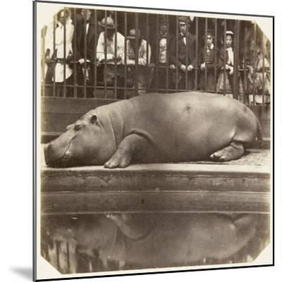 The Hippopotamus at the Zoological Gardens, Regent's Park, London, 1852-Juan Carlos-Mounted Giclee Print