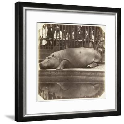 The Hippopotamus at the Zoological Gardens, Regent's Park, London, 1852-Juan Carlos-Framed Giclee Print