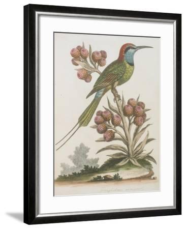 Indian Bee-eater--Framed Giclee Print