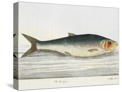 The Herring-E. Albin-Stretched Canvas Print