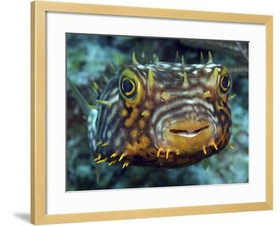 Striped Burrfish On Caribbean Reef-Stocktrek Images-Framed Photographic Print