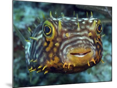 Striped Burrfish On Caribbean Reef-Stocktrek Images-Mounted Photographic Print