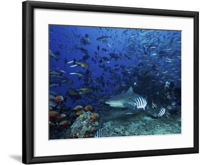An Underwater Photographer Films a Large Bull Shark Surrounded by Hundreds of Reef Fish, Fiji-Stocktrek Images-Framed Photographic Print