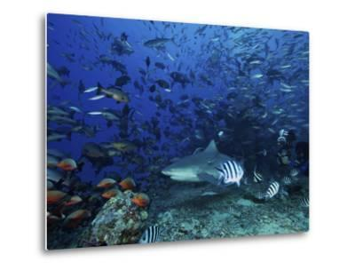 An Underwater Photographer Films a Large Bull Shark Surrounded by Hundreds of Reef Fish, Fiji-Stocktrek Images-Metal Print