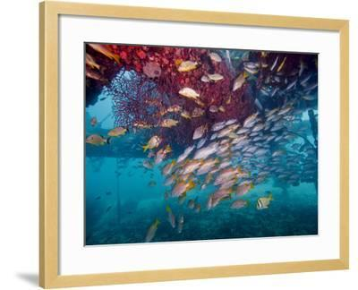 Schools of Gray Snapper, Yellowtail Snapper And Bluestripe Grunt Fish-Stocktrek Images-Framed Photographic Print