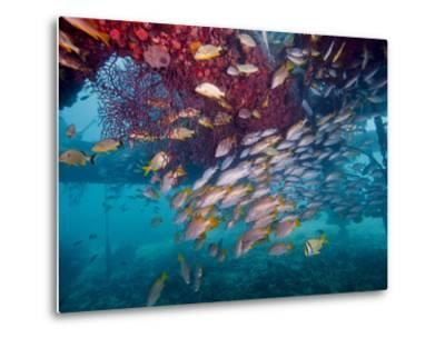 Schools of Gray Snapper, Yellowtail Snapper And Bluestripe Grunt Fish-Stocktrek Images-Metal Print