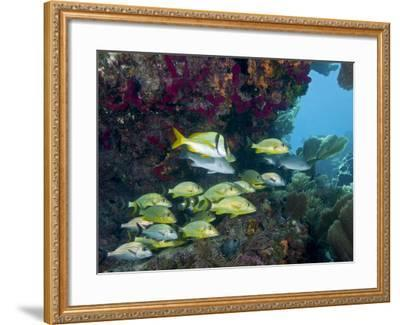 A Diversity of Grunt Fish Under a Colorful Coral Reef, Key Largo, Florida-Stocktrek Images-Framed Photographic Print