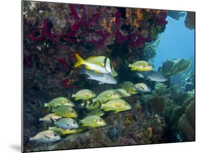 A Diversity of Grunt Fish Under a Colorful Coral Reef, Key Largo, Florida-Stocktrek Images-Mounted Photographic Print