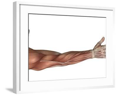 Muscle Anatomy of the Human Arm, Posterior View-Stocktrek Images-Framed Photographic Print