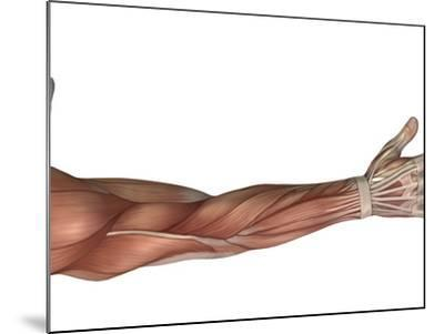Muscle Anatomy of the Human Arm, Posterior View-Stocktrek Images-Mounted Photographic Print