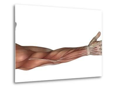 Muscle Anatomy of the Human Arm, Posterior View-Stocktrek Images-Metal Print