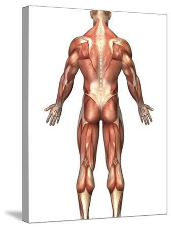 Anatomy of Male Muscular System, Back View-Stocktrek Images-Stretched Canvas Print