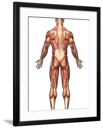 Anatomy of Male Muscular System, Back View-Stocktrek Images-Framed Photographic Print