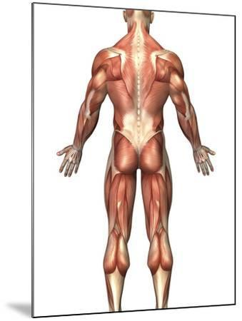 Anatomy of Male Muscular System, Back View-Stocktrek Images-Mounted Photographic Print