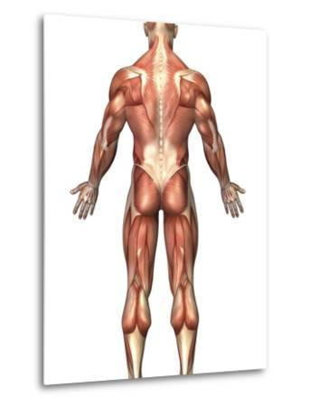 Anatomy of Male Muscular System, Back View-Stocktrek Images-Metal Print