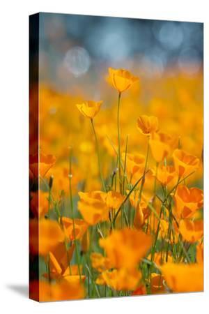 Riverside Poppies-Vincent James-Stretched Canvas Print