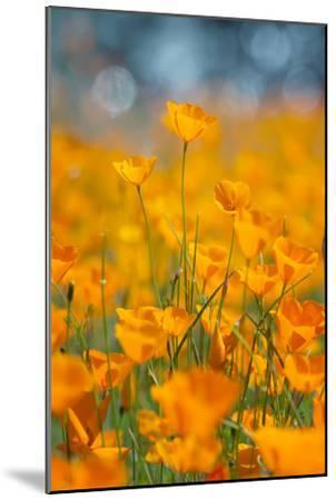 Riverside Poppies-Vincent James-Mounted Photographic Print