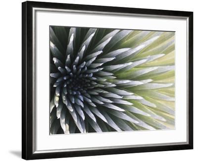 USA, Hawaii, Maui, Haleakala National Park, Silversword Plant (Argyroxiphium Sandwicense)-Michele Falzone-Framed Photographic Print