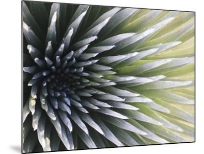 USA, Hawaii, Maui, Haleakala National Park, Silversword Plant (Argyroxiphium Sandwicense)-Michele Falzone-Mounted Photographic Print