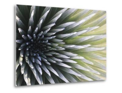 USA, Hawaii, Maui, Haleakala National Park, Silversword Plant (Argyroxiphium Sandwicense)-Michele Falzone-Metal Print