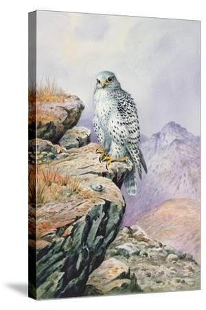 Gyrfalcon-Carl Donner-Stretched Canvas Print