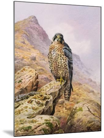 Peregrine Falcon-Carl Donner-Mounted Giclee Print