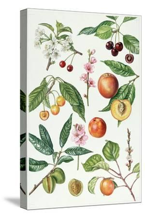 Cherries and Other Fruit-Bearing Trees-Elizabeth Rice-Stretched Canvas Print