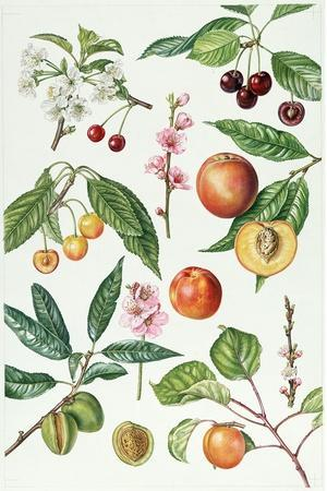 Cherries and Other Fruit-Bearing Trees-Elizabeth Rice-Premium Giclee Print