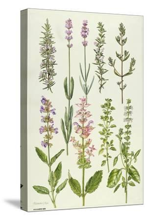Rosemary and Other Herbs-Elizabeth Rice-Stretched Canvas Print