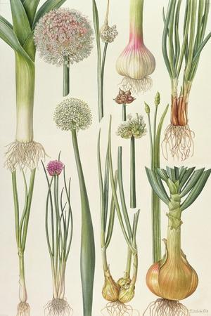 Onions and Other Vegetables-Elizabeth Rice-Framed Giclee Print