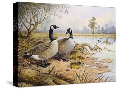 Geese: Canada-Carl Donner-Stretched Canvas Print
