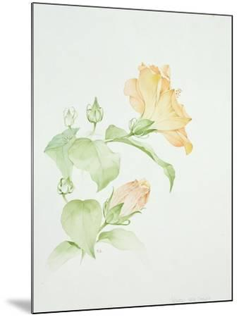 Hibiscus Rosa-Sinensis-Sarah Creswell-Mounted Giclee Print
