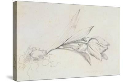 Tulip-Albert Williams-Stretched Canvas Print