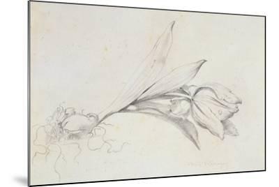 Tulip-Albert Williams-Mounted Giclee Print