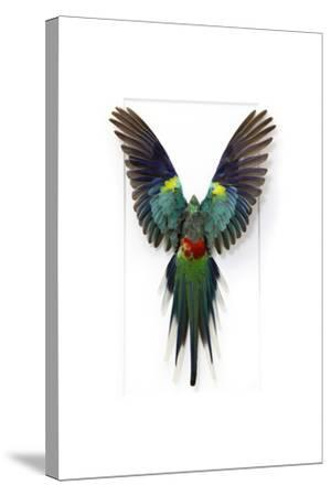 Many Colored Parakeet-Christopher Marley-Stretched Canvas Print