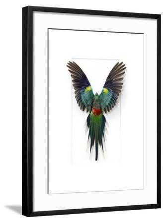 Many Colored Parakeet-Christopher Marley-Framed Photographic Print